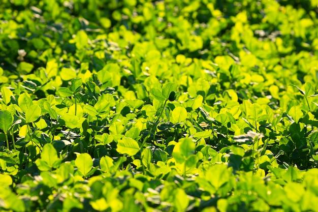 Helles üppiges grünes gras im sonnenlicht.