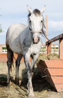 Hellgraues pferd, das nahe hitching beitrag im bauernhofyard einzieht.