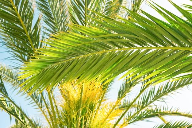 Hellgrüne palmblätter gegen sonnigen blauen himmel, kokospalme. sommer tropischer exotischer hintergrund