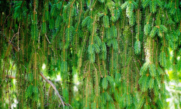 Hellgrüne, stachelige zweige eines pelzes oder einer kiefer
