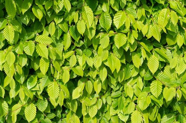 Hellgrüner baum hinterlässt textur-hintergrund