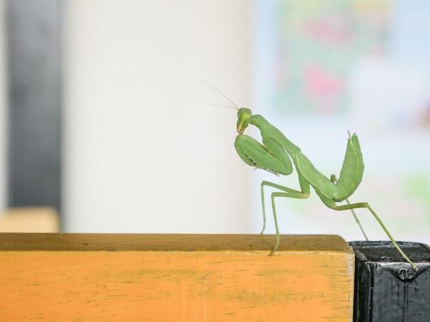 Hellgrüner preying mantis mantid mantises mantidae mantodea auf altem holztisch