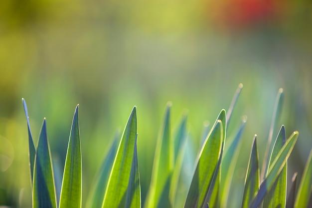 Hellgrünes gras, dünne blätter, die auf unscharfem grünem bokeh grasartigem hintergrund am sonnigen frühlings- oder sommertag wachsen.