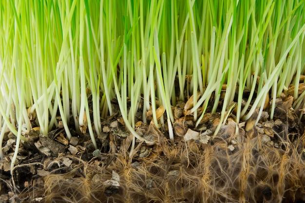 Hellgrünes gras und wurzeln