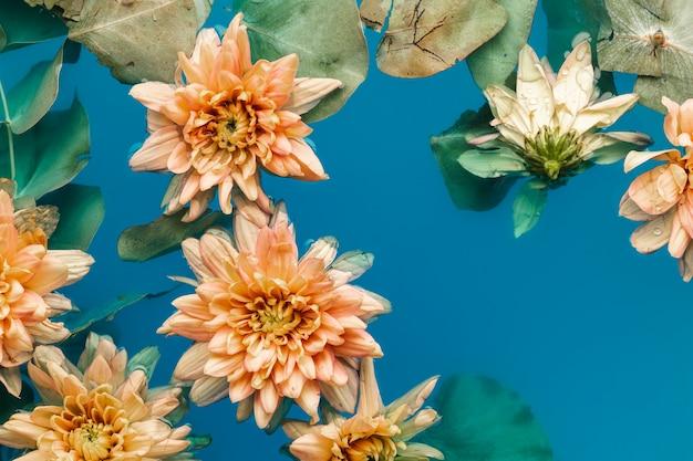 Hellorangefarbene chrysanthemen der draufsicht im blau färbten wasser