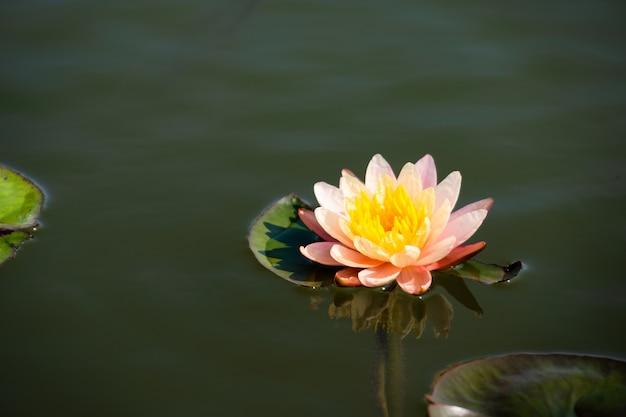 Hellrosa der seerose oder des lotos mit dem gelben blütenstaub auf oberfläche des wassers im teich.