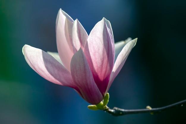 Hellrosa kopf der blühenden frühlingsmagnolienblume