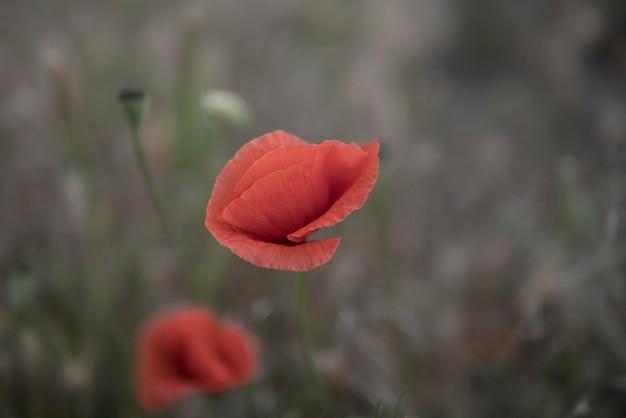 Hellrote mohnblume auf einem kalten hintergrund