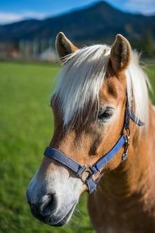 Hengst Pferd Porträt