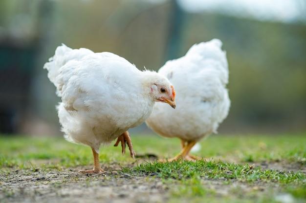 Henne ernähren sich von traditionellen ländlichen scheunen. nahaufnahme von hühnern, die auf scheunenhof mit grünem gras stehen. konzept der freilandhaltung von geflügel.