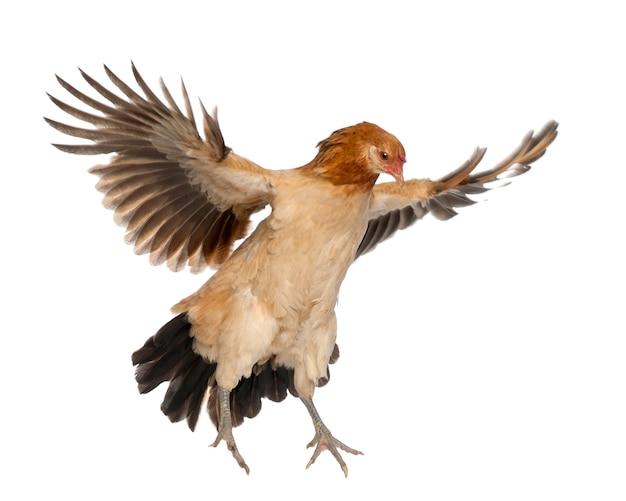 Henne fliegt gegen weiße oberfläche
