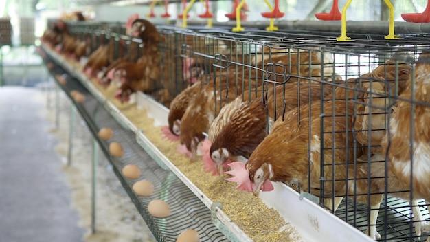 Henne, hühnereien und hühner, die lebensmittel im bauernhof essen.
