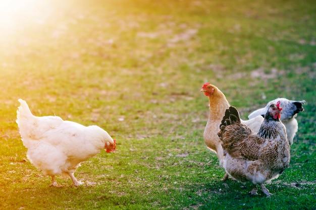 Hennen auf grünem gras draußen im ländlichen yard