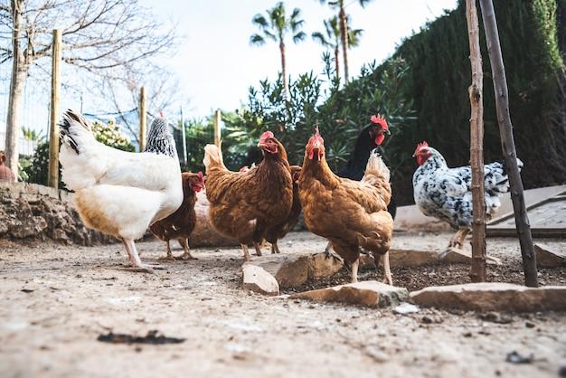 Hennen, die auf dem boden eines ökologischen bauernhofs picken, um wildeier zu legen.