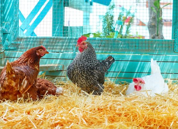 Hennen in einem geflügelhennenstall mit stroh
