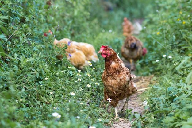 Hennen ziehen auf den traditionellen ländlichen hof am sonnigen tag ein