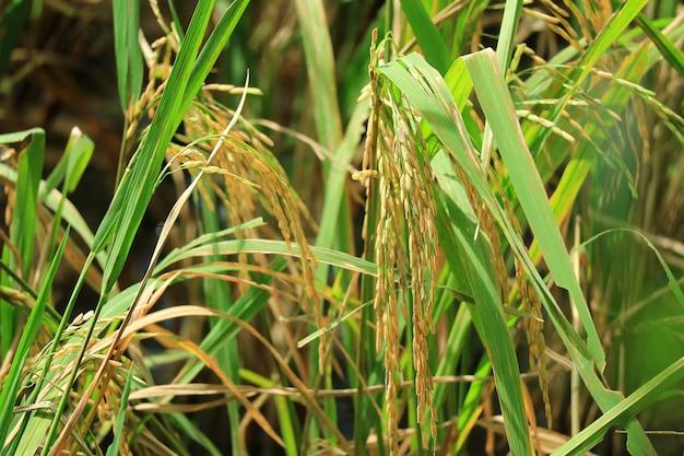 Herauf goldene reife reiskörner im paddy field von thailand geschlossen