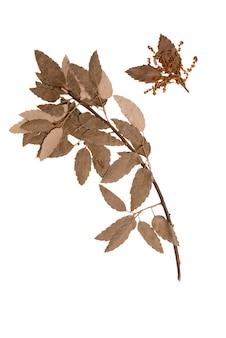 Herbarium trockener zweig einer korkeiche isoliert auf weißem hintergrund