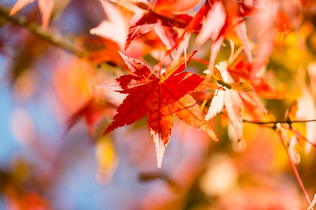 Herbst ahornbaum blätter