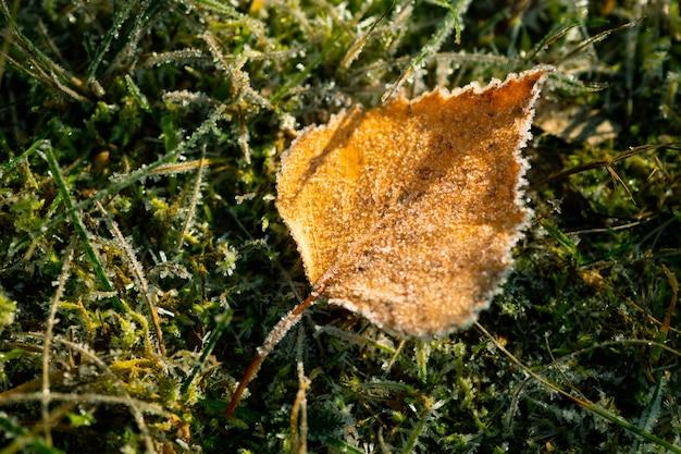 Herbst bereiftes birkenblatt auf grünem gras. schöner frostiger morgen. der herbst geht zu ende, der winter kommt.