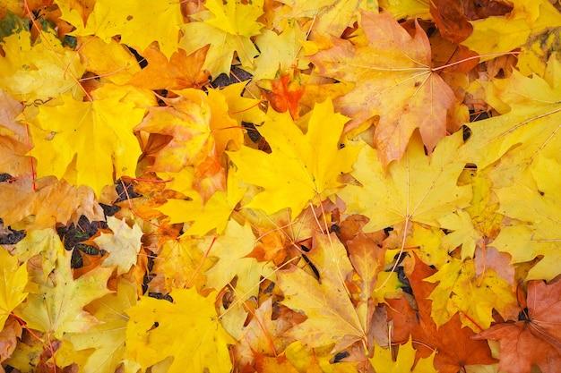 Herbst bunte orange, rote und gelbe ahornblätter als hintergrund im freien.
