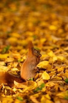 Herbst. ein eichhörnchen sitzt auf abgefallenen blättern und isst eine walnuss. nahaufnahmeportrait. sonniger tag
