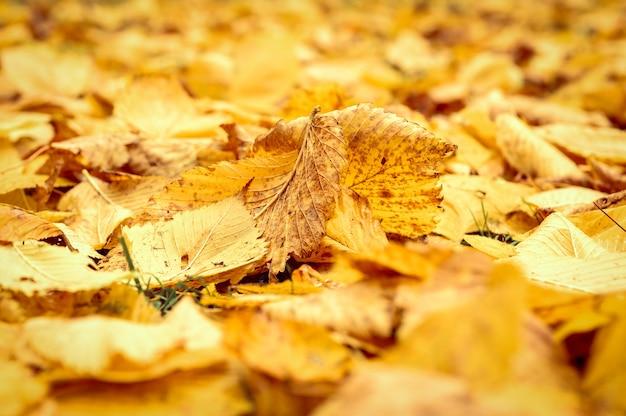 Herbst gefallene blätter einer ulme auf dem boden auf dem grünen gras. herbstlaub auf dem land hautnah