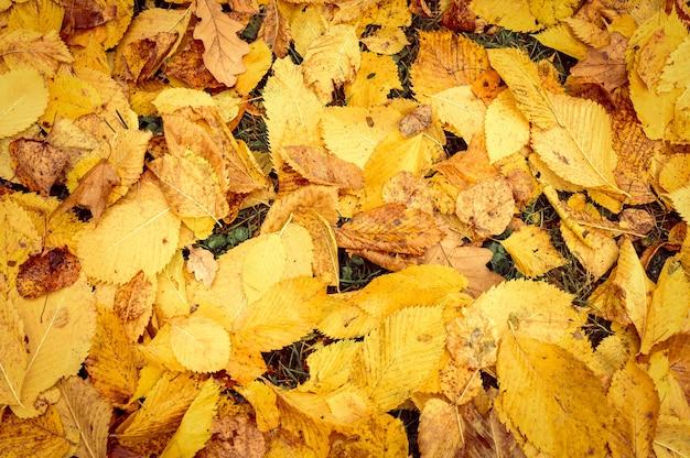Herbst gefallene blätter einer ulme auf dem boden auf dem grünen gras. herbstlaub auf dem land. nahaufnahme, ansicht von oben