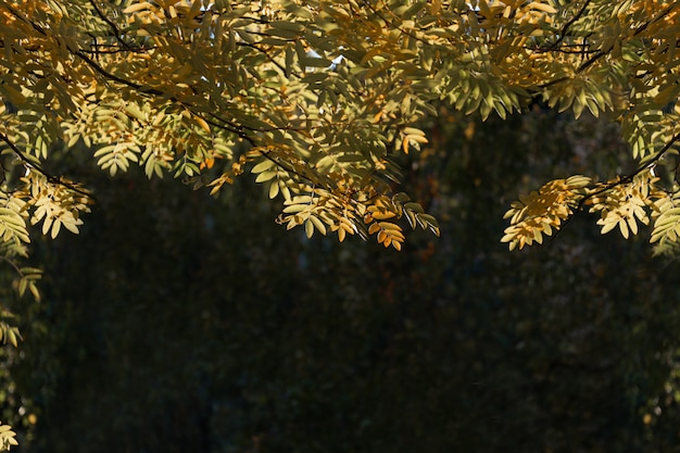 Herbst. grüne und gelbe ebereschenblätter werden von der sonne beleuchtet