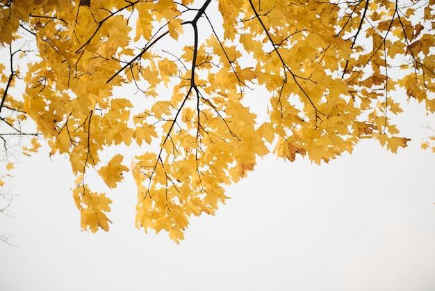 Herbst, herbst, verlässt hintergrund. ein ast mit herbstblättern eines ahorns auf einem unscharfen hintergrund. landschaft in der herbstsaison