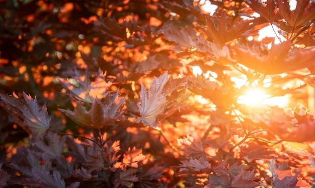 Herbst hintergrund. warme sonnenstrahlen und rote ahornblätter. natürliche textur.