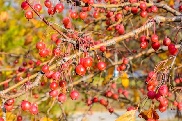 Herbst kleine wilde äpfel nahaufnahme. selektiver fokus. herbstlandschaft.