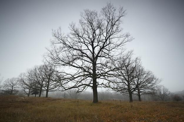 Herbst nackte eichen im nebel