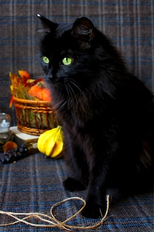 Herbst schwarze katze