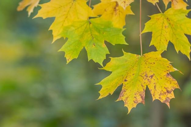 Herbst-sonnenuntergangbaum des ahornblattes verwischte roter hintergrund