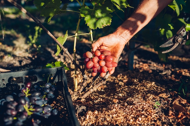 Herbst trauben harverst. landwirt, der ernte von trauben auf bauernhof erfasst. mann, der rote tafeltrauben mit gartenschere schneidet
