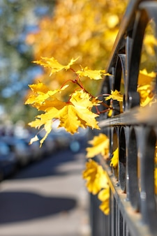 Herbst vergilbter ahorn nahe dem zaun auf einer stadtstraße am sonnigen tag, weichzeichner, unscharfer hintergrund