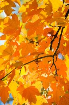 Herbstahornbäume (nahaufnahme) im herbstlichen stadtpark