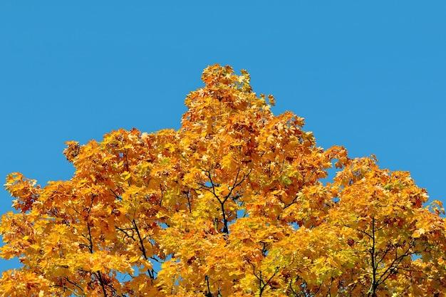 Herbstahornbaum mit gelben blättern gegen reinen blauen himmel.