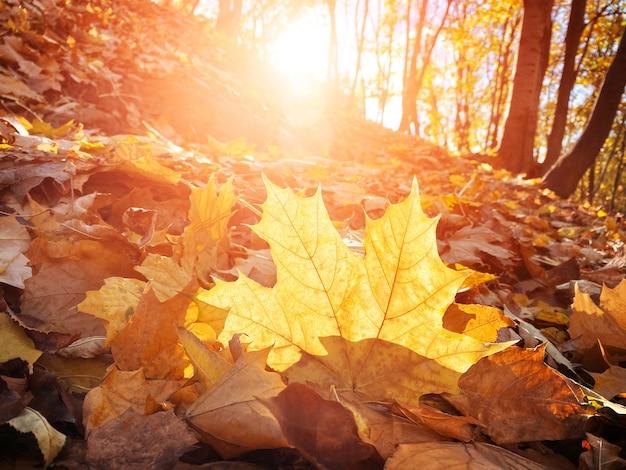 Herbstahornblätter auf dem boden im park