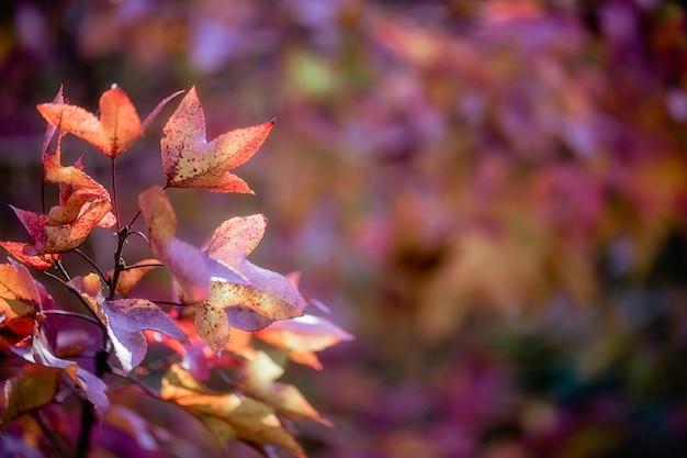 Herbstahornblätter auf einem unscharfen hintergrund