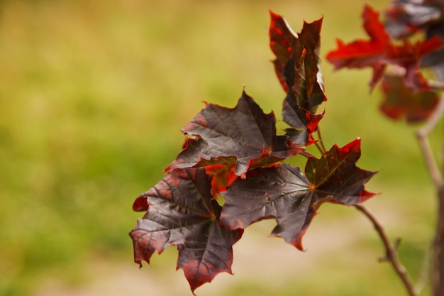 Herbstahornblätter, zweige und laub.