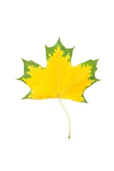 Herbstahornblatt isoliert auf weißem hintergrund. gelbes ahornblatt mit grünen rändern als dekoratives gestaltungselement
