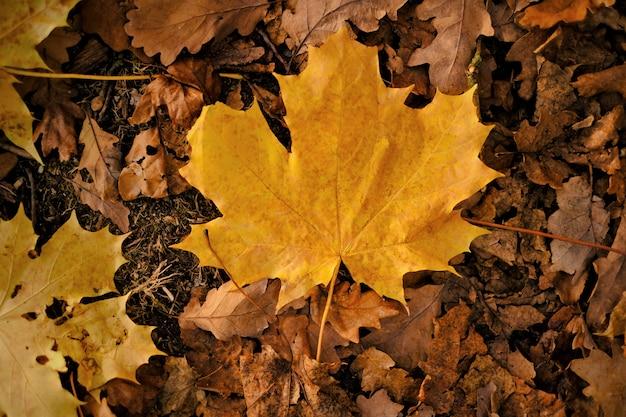 Herbstahornblatt. natürlicher pflanzenhintergrund des herbstes.