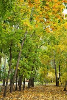 Herbstahorne im park.