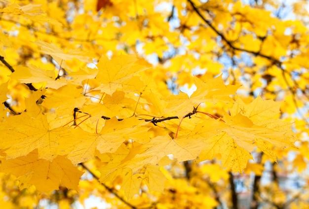 Herbstahornlaub auf blauem himmel und anderen baumhintergrund
