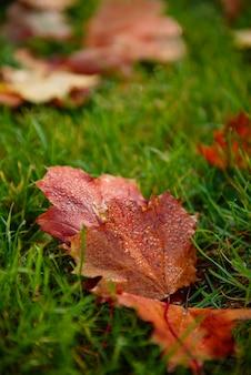 Herbstahornurlaub auf grasnahaufnahme. sonniger tag im park
