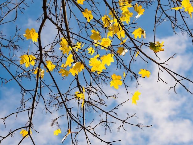 Herbstahornzweige über blauem himmel