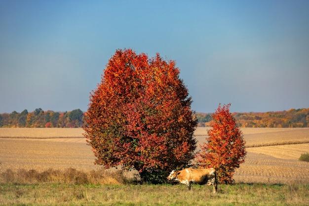 Herbstbaum auf einem feld und eine grasende kuh