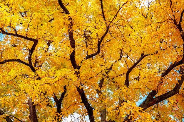 Herbstbaum mit hellen gelben blättern.